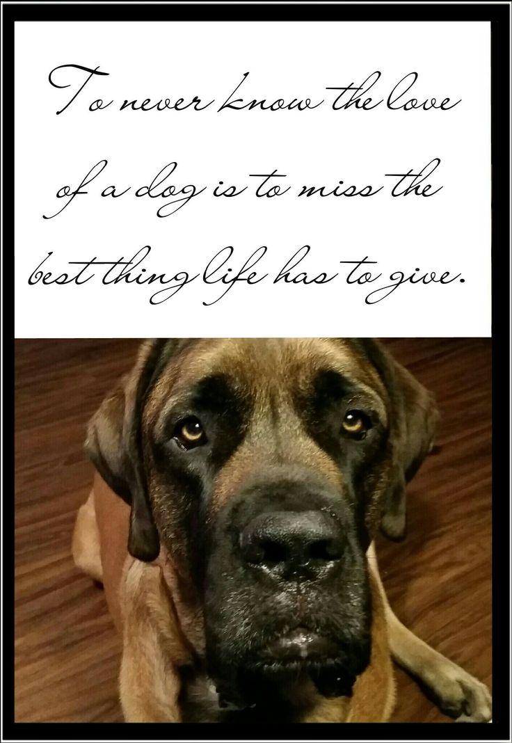 Unconditional love of a dog #dog #mastiff #englishmastiff