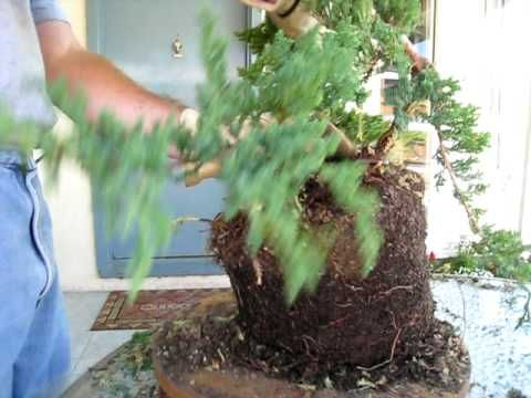 How to Create a Bonsai Tree From a Nursery Juniper, Part Two