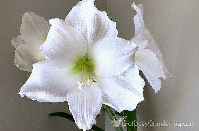 How To Rebloom Your Amaryllis Plants Amaryllis Plant Amaryllis Amaryllis Bulbs