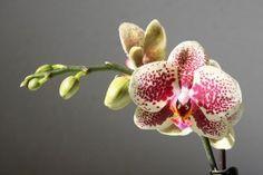 Comment faire refleurir une orchidée, toutes les astuces !Entretenir une…