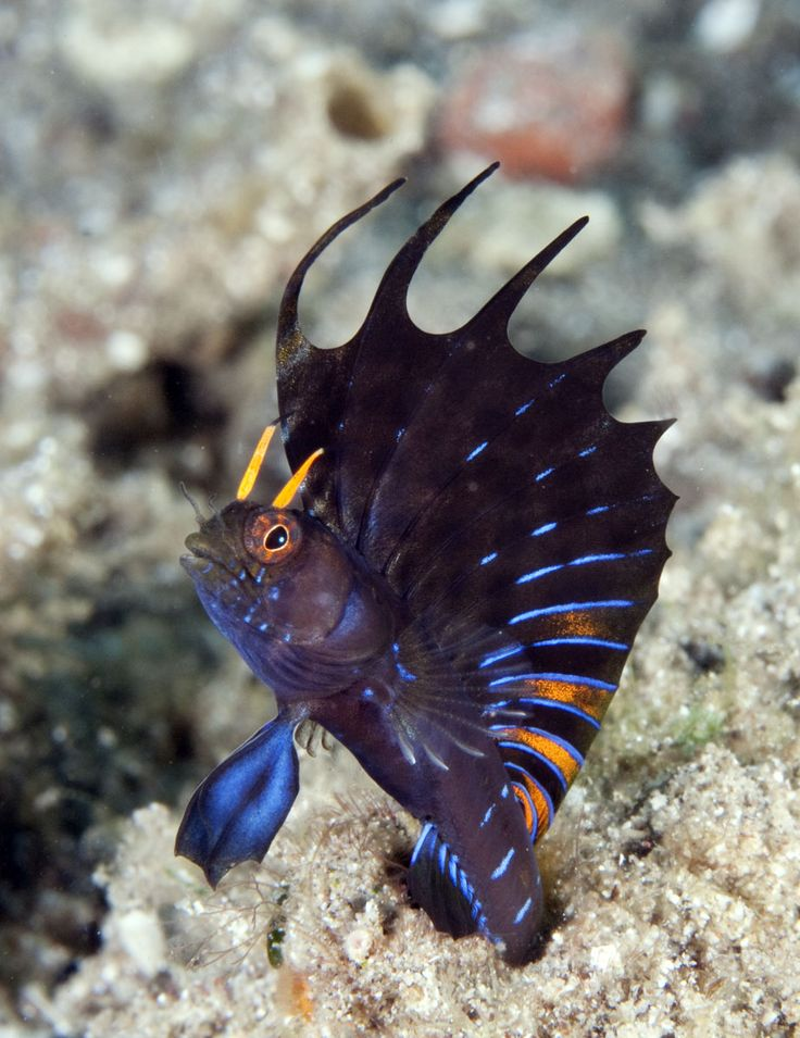 (Emblemania hypacanthus) Gulf signal blenny displaying. Sea of Cortez.