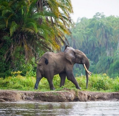 Weighing in at around 2,000 lbs, the African Forest #Elephant is the largest animal in the #rainforest! #CUIPO
