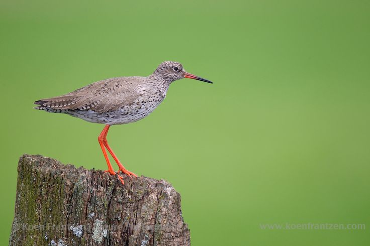 Common Redshank (Tringa totanus) Springtime in the Dutch polders.  koenfrantzen.com