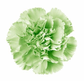 pale green carnation