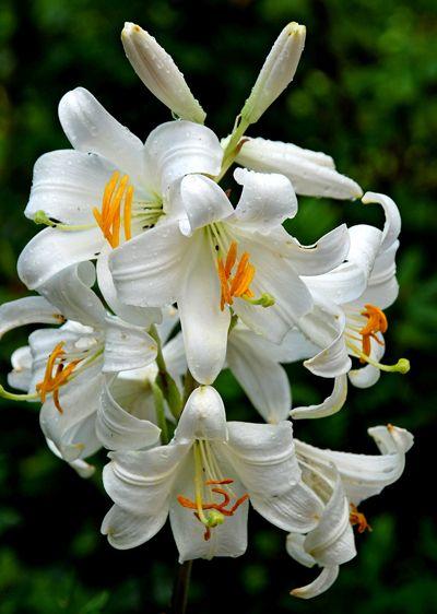 lilium candidum madonna lily lilien pinterest. Black Bedroom Furniture Sets. Home Design Ideas