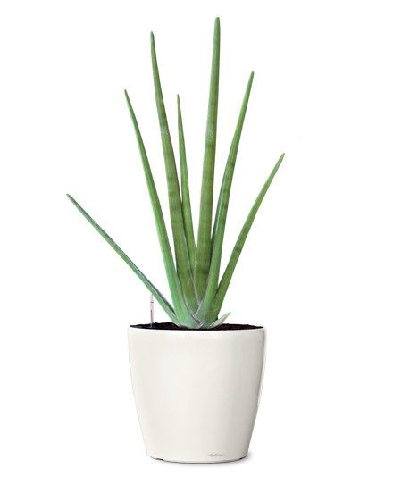 Small Ornamental Plant - Cylindrica Spear Snake Ornamental Plant - Sansevieria Cylindrica (Web) Buy Indoor Plants - Fruit Plants Online RealOrnamentals.com or RealPalmTrees.com #IndoorPalms #DIY2015 #PalmTrees #BuyPalmTrees #2015PlantIdeas #Summer2015Plants