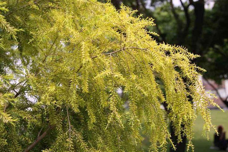 Melaleuca bracteata 'Revolution Gold'