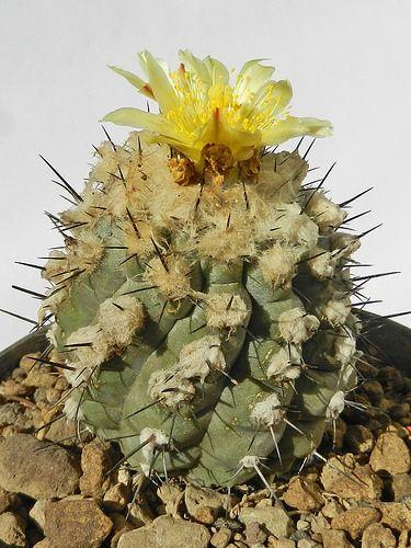 Copiapoa cinerea [Hybrid] | por Succulents Love by Pasquale Ruocco (stabiae)