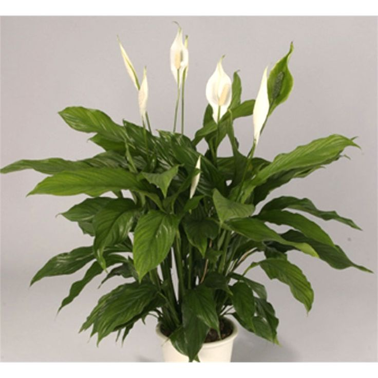 BUNNINGS  Find Plant Spathiphyllum 17cm at Bunnings Warehouse. Visit your local store for the widest range of garden products.