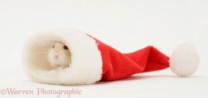 Dwarf Siberian Hamster in a Santa hat
