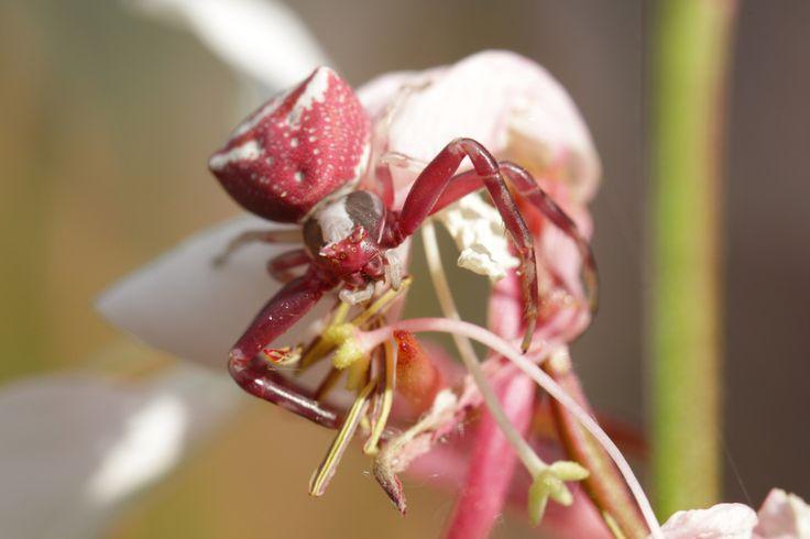 Thomise enflée (Thomisus onustu)... Délicatement posée sur une fleur délicate... http://www.entomophotopassion.com/album-1950864.html