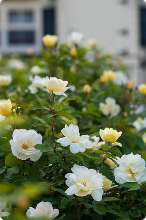 How to Care for a Knock Out® Rose ...for all you Knock Out® needs shop www.gardencrossings.com