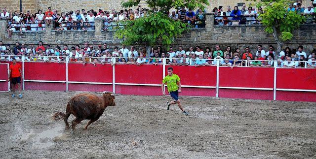 Santacara: Vacas de Vicente Domínguez (5)