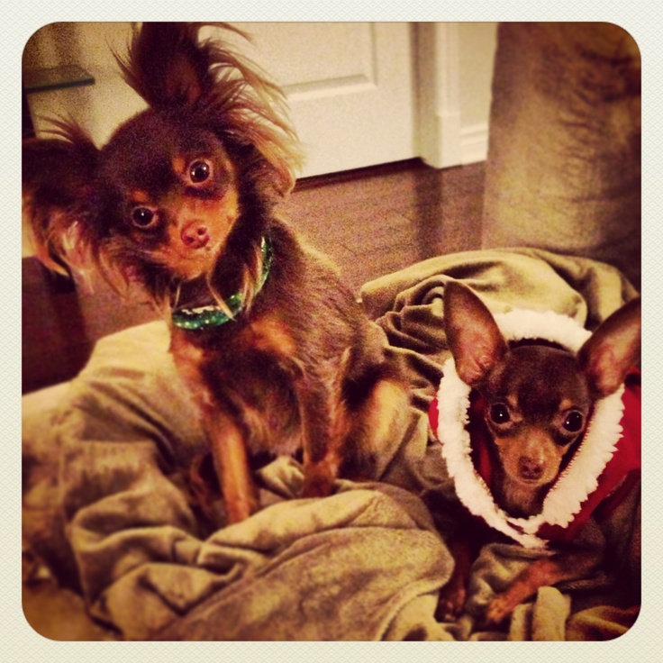 Russkiy Toy terrier Russian Toy terrier Long hair and short hair Brown and tan Kazu and Zoika