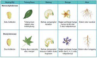 contoh tumbuhan monokotil dan dikotil,paku yang bermanfaat bagi manusia,tabel,perbedaan beserta contohnya,gymnospermae dan angiospermae,manfaat biji terbuka,secara anatomi,kehidupan,