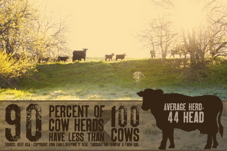 https://www.facebook.com/lens.of.a.farm.girl: Cows Herding, Average Herding, Factories Farms, Average Heard, Agriculture Farms, Cattle Country Farms Ffa 4 H, Beef Facts, Dairy Farmers, Ag Facts