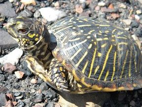 Ornate box turtles are some of the most popular pet box turtle species.