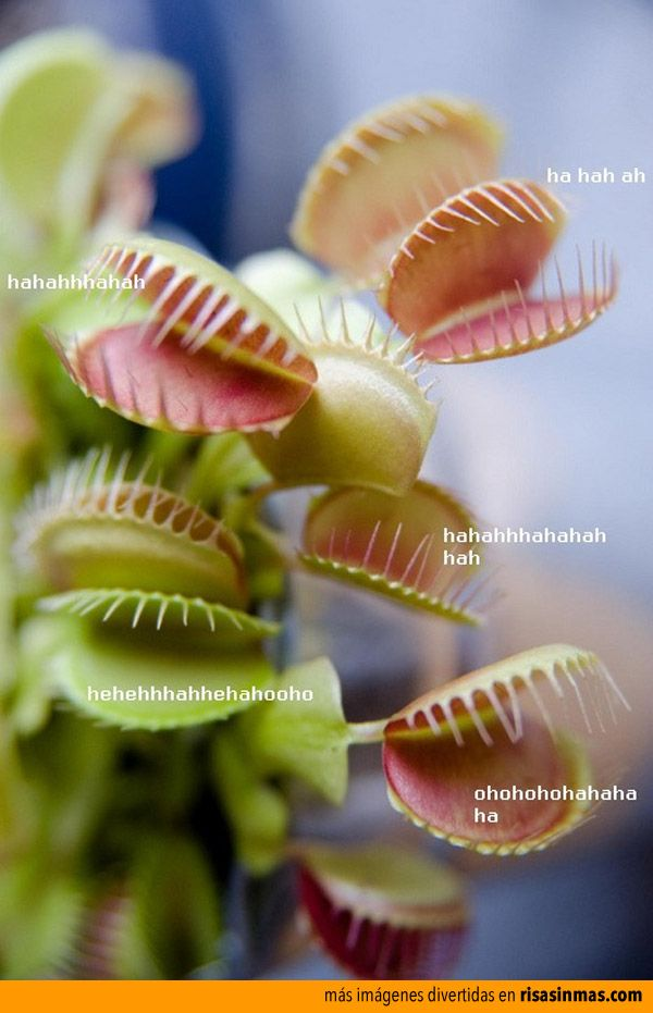 Plantas risívoras.