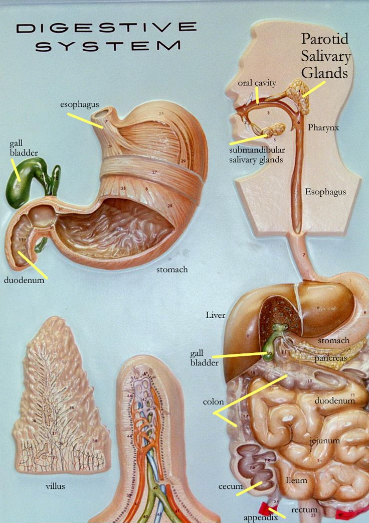 Pin by nurcan ince on k | Digestive system model, System ...