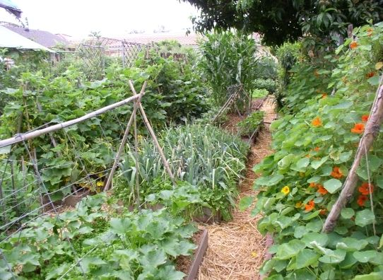 I don't know where this image came from or who owns it, but I love the straw mulch between beds and the trellises.  My nasturtiums would love to climb this year.