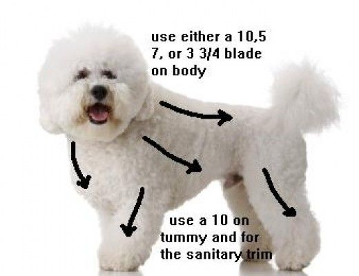 Here are some of the tools you will need to groom your Bichon Frise.   1. Metal comb   2. Shears, if you don't have grooming shears then use a 8-1/2'' Pinking Shears found in sewing areas.   3. Clippers and blades, you will need either the 10,7,5 or...