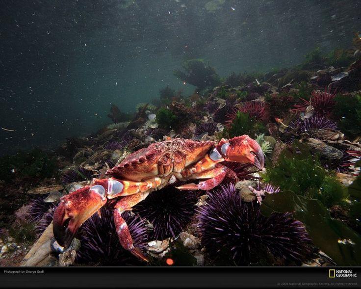 КРАБ И МОРСКИЕ ЕЖИ Тело морских ежей обычно почти сферическое, размером от 2 до 30 см, а длина игл колеблется от 2 мм до 30 см. У некоторых видов морских ежей иглы ядовиты. (Фото George Grall)