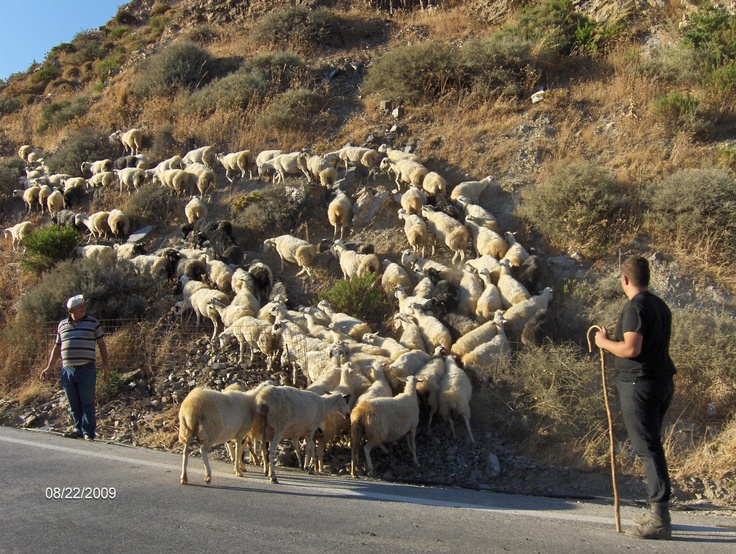 """There were lots and lots of """"geep"""" (goats/sheep bred together) with lots of tiny bells around their necks...all over Crete!"""