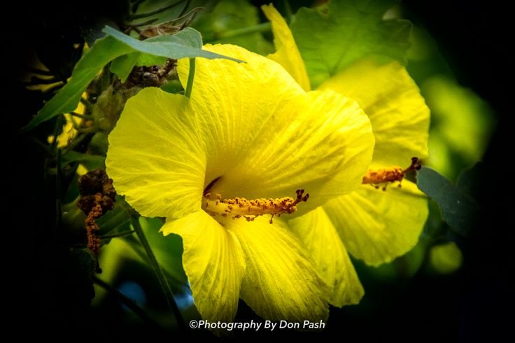 Yellow Hibiscus:  The territory of Hawaii named the hibiscus the official flower of Hawaii in 1923, but it did not specify an individual variety. Yellow hibiscus is a flowering shrub that grows on all the Hawaiian Islands except Ni'ihau and Kaho'olawe. All three subspecies of the yellow hibiscus are listed as endangered species. Even in Hawaii, the plant is rare.