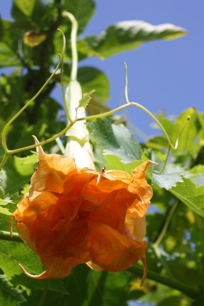Ideal  Herrenhauser Garten Angel Trumpet cultivar named after the famous Herrenhauser Gartens in Germany