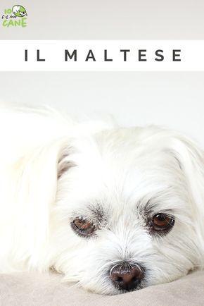 Il Maltese Scopri Tutto Sul Carattere Di Questo Piccolo Cane