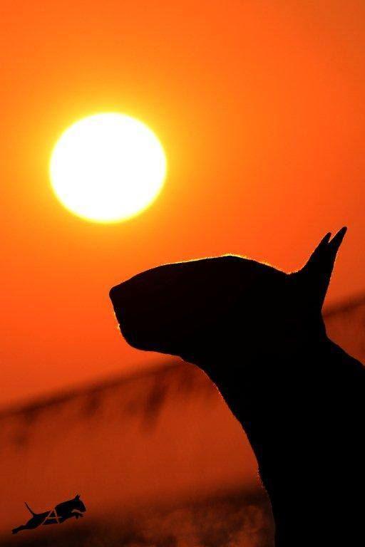 Bull Terrier's silhouette. Alice Van Kempen photo