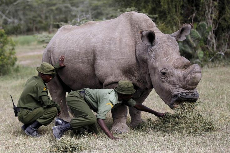"Like many guys using the Tinder dating app, Sudan loves the outdoors and travels widely. The catch: he's the world's last male white northern rhino and desperately needs to mate. ""I don't mean to be too forward, but the fate of my species literally depends on me,"" reads his profile. ""I perform well under pressure. …"