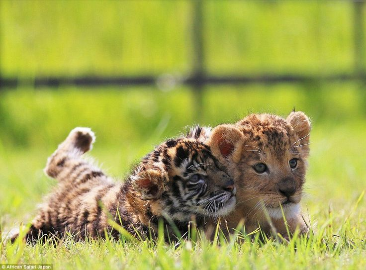 There are currently several sets of tiger and lion cubs at the park but this pair have struck up an unlikely friendship