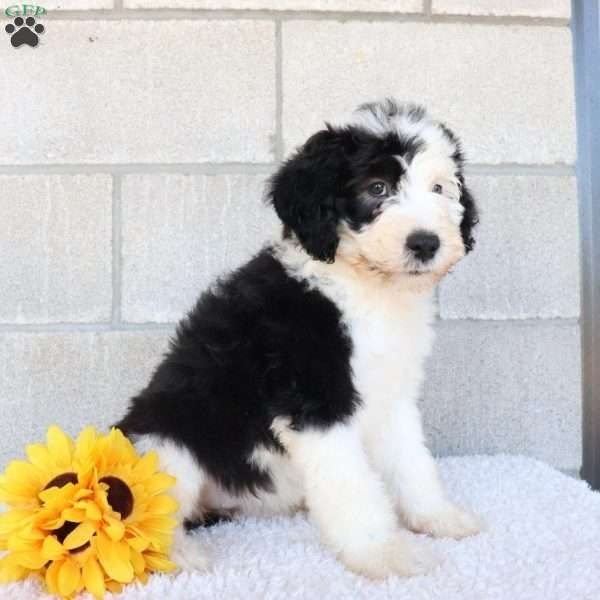 Loopy Sheepadoodle Puppy For Sale In Ohio Sheepadoodle Puppy