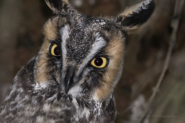 Long-Eared Owl / Hibou moyen-duc / Asio otus | Plus de trois… | Flickr