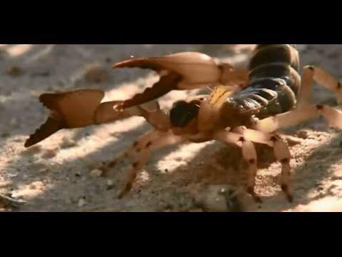 운동선수 공격하는 겁없는 전갈 !! Scorpion attacks People