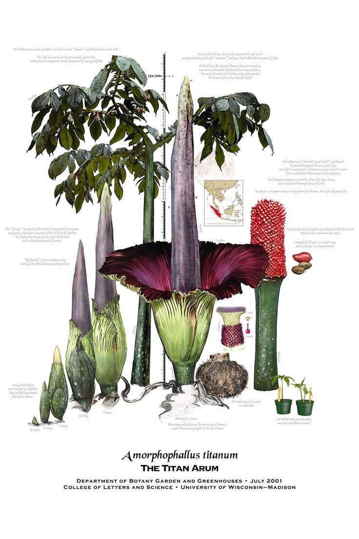 Titan arum poster (Amorphophallus titanum)