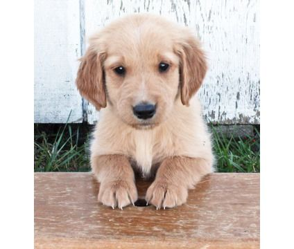 hhghghggj Loving Exmas Golden retriever puppies for sale is a Female Golden Retriever For Sale in San Ramon CA