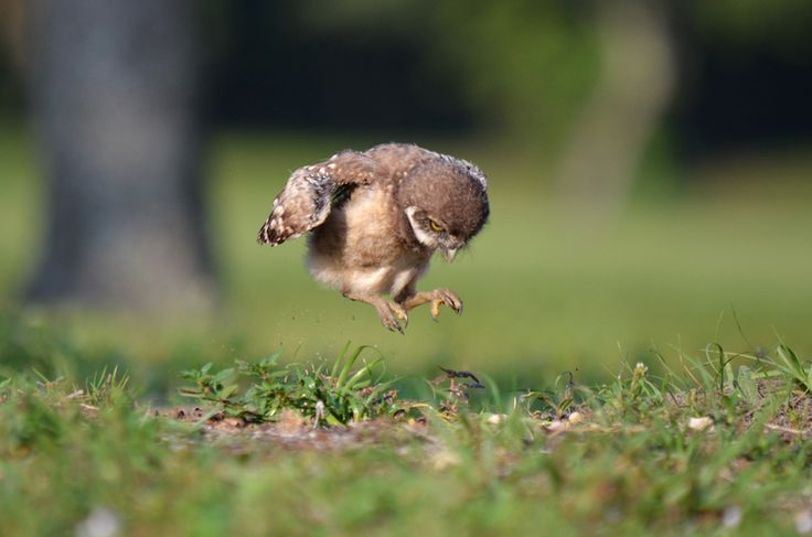 But this burrowing owl chick jumping around is even cuter ...