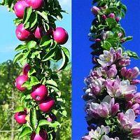 Яблоня колонновидная Гранатовый браслет
