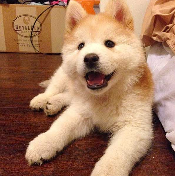 Chusky Chow Chow Husky This Is The First Chow Chow Mix We Have