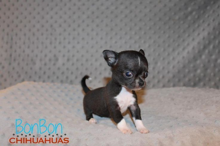 Chihuahua Puppies For Sale Chihuahua Lover Chihuahua Lover