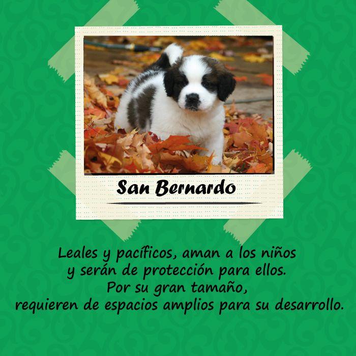Si tienes un espacio amplio y mucho amor para tu mascota el San Bernardo es el indicado