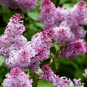 How to Divide Lilac Bushes | eHow