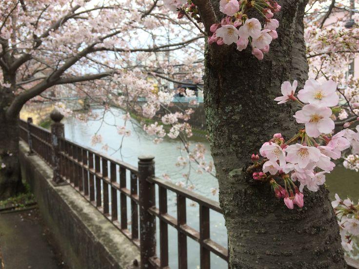 神奈川県逗子市 田越川ぞいの桜 JAPAN