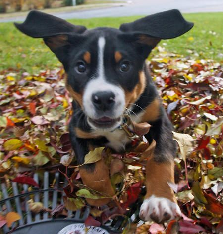 Glacier playing in the leaves! 3 month old Greater Swiss Mountain Dog.