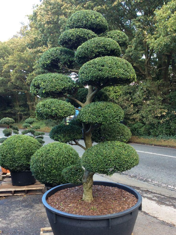 Arbres Nuage japonais - Bonsai Geant Juniperus virg. 'Glauca' Acheter Vos Arbres chez le spécialiste du Jardin Zen français . ART Garden http://www.art-garden.fr