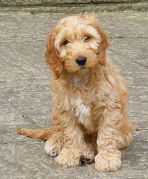 Beautiful F1 Apricot Cockapoo Puppies For Sale | Preston, Lancashire…