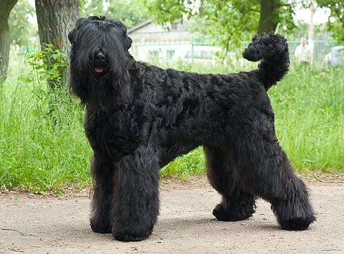 Black Russian Terrier - Русский чёрный терьер