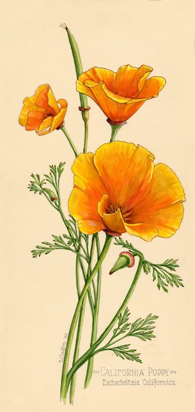 naturalistic drawing of california poppy - Ernest Clayton Collection http://sfpl.org/index.php?pg=2000036401